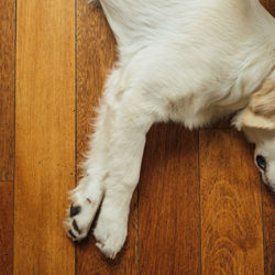 dog comfortably resting on the floor